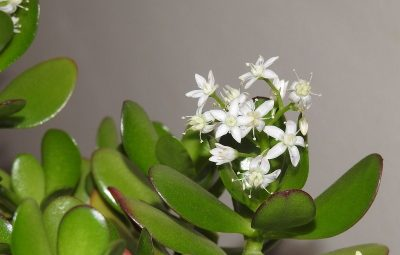 How To Cause Flowering Money Tree?